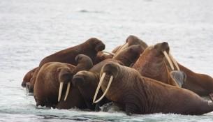 several walrus, small floe