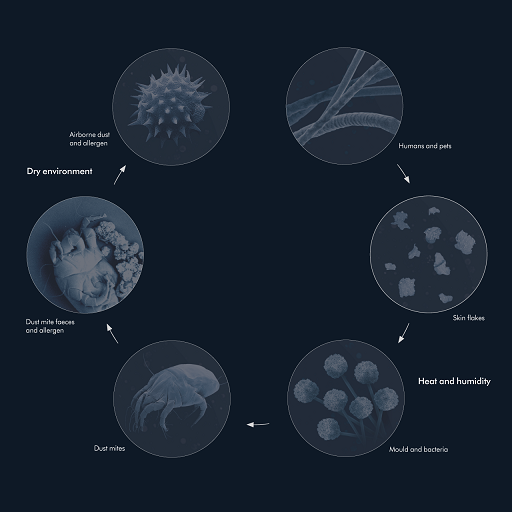 Dust mite - Cycle